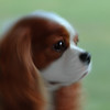 Bentley's Blog : I am Bentley, a Cavalier King Charles Spaniel. For more information on Cav's, please go here:  http://www.ckcsc.org/ 
