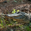 Gators : Just playin for a change.  My Photography Club went out for a Saturday of shooting and camaraderie.  We had a great time and had some close encounters with crazy big gators.